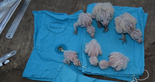 Dokumentationsfoto af sløruglekuldet fra Karby fra 24. juli 2014. Uglen som nu er fundet i Sverige er ungen øverst i midten. Det var den største i kuldet og vejede 185 gram og var i god foderstand. Den mindste unge i kuldet var for lille til at ringmærke. Efter ungerne blev tilstandsbedømt, målt, vejet og ringmærket blev de sat tilbage i deres opsatte redekasse. Foto: Lars C. Smith.