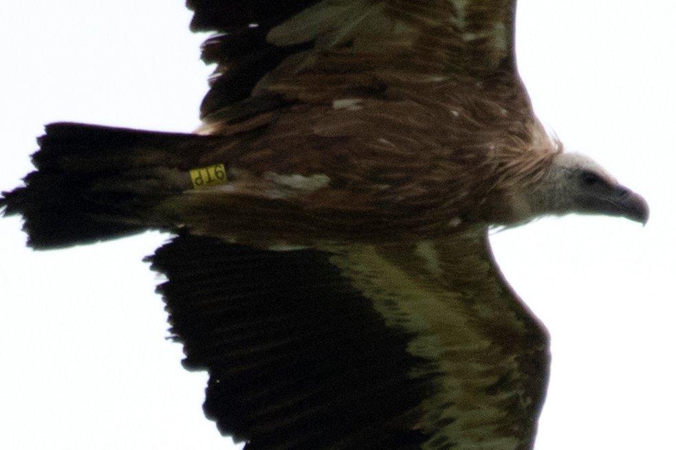 Foto 3: Samme gåsegrib 'fanget' i flugt af Kjeld Christensen. Farveringen er tydelig ogkan let aflæses.
