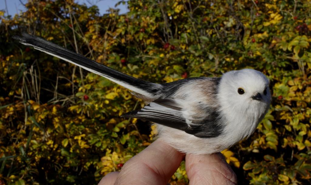 Halemejsen, der 1. oktober 2016 blev ringmærket i Estland, og som 25. oktober 2016 blev fanget ved Blåvand Fuglestation. Foto: Henrik Knudsen.