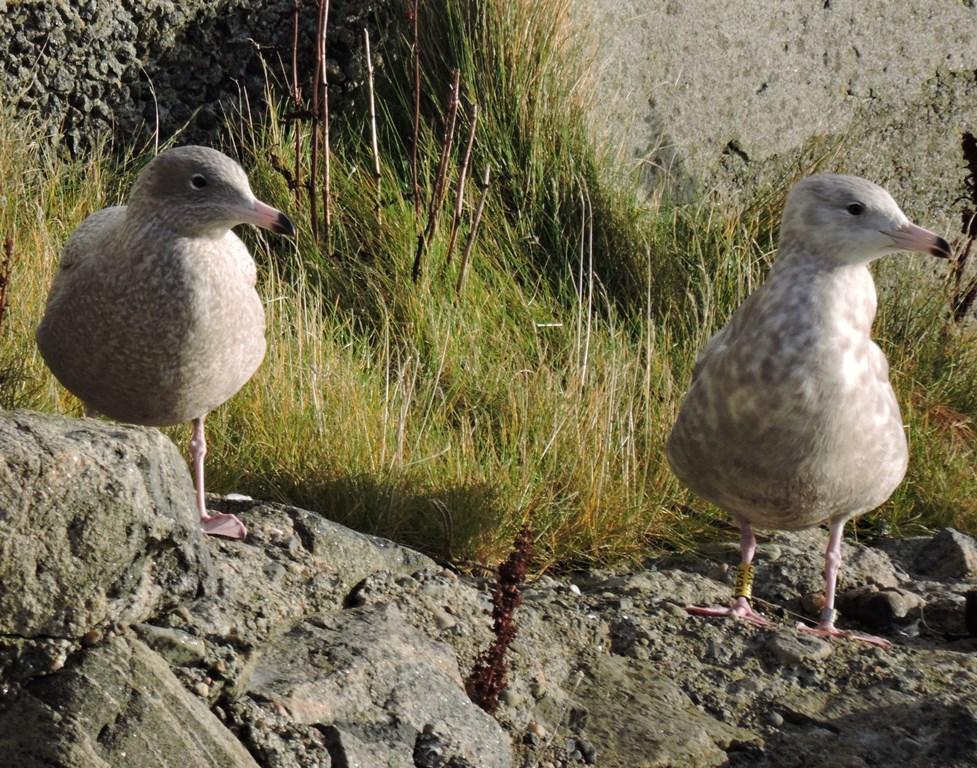 Foto af to unge gråmåger 16. november 2017 ved Ardveenish, Ydre Hebrider, Skotland. Fuglen til højre er Gilleleje-gråmågen